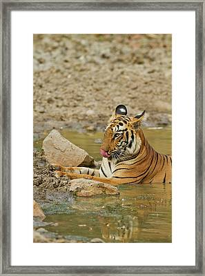 Royal Bengal Tiger At The Waterhole Framed Print by Jagdeep Rajput