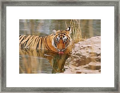 Royal Bengal Tiger Drinking Framed Print by Jagdeep Rajput