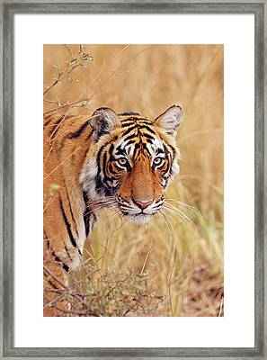 Royal Bengal Tiger Watching Framed Print by Jagdeep Rajput