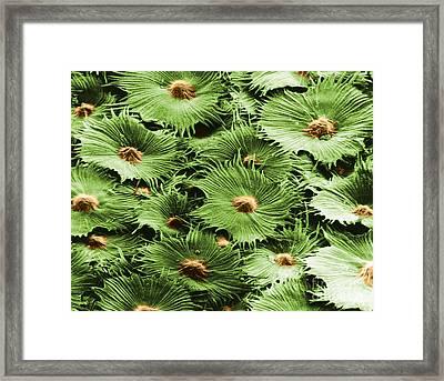 Russian Silverberry Leaf Sem Framed Print by Asa Thoresen