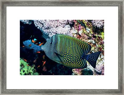 Sailfin Tang Fish Framed Print by Georgette Douwma