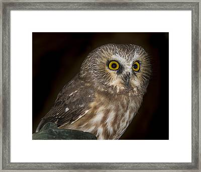 Saw-whet Framed Print by Jean Noren