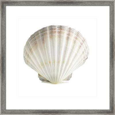 Scallop Shell Framed Print