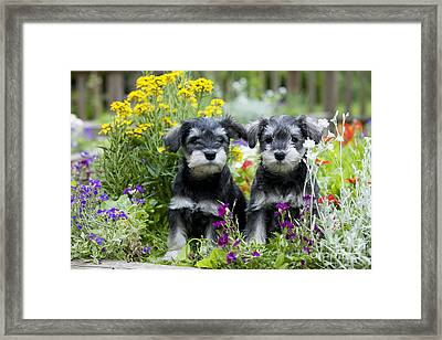 Schnauzer Puppy Dogs Framed Print by John Daniels