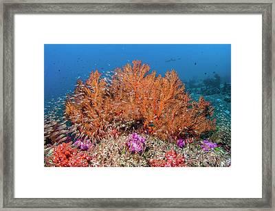 Sea Fan Framed Print by Georgette Douwma