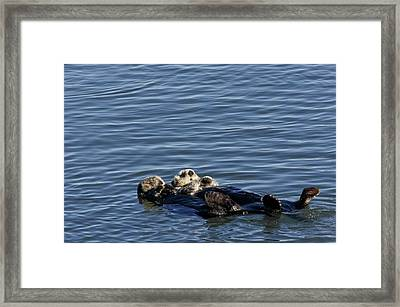 Sea Otters Framed Print by Bob Gibbons/science Photo Library