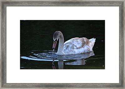 Searching For Food Underwater Framed Print by Roy Williams