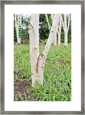 Silver Birch Trees  Framed Print