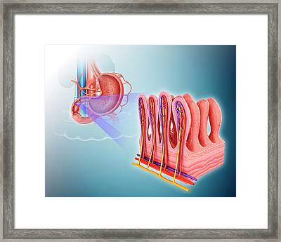 Small Intestinal Wall Framed Print