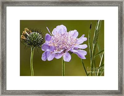 Small Scabious Scabiosa Columbaria Framed Print