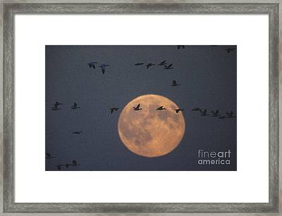 Snow Geese Framed Print by James L. Amos