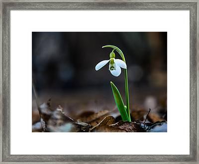 Snowdrop Flower Framed Print