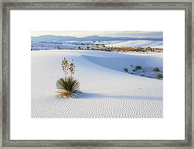 Soaptree Yucca In Gypsum Sand White Framed Print