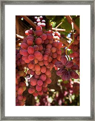 South America, Chile, Colchagua Framed Print