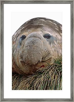Southern Elephant Seal (mirounga Leonina Framed Print