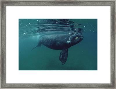 Southern Right Whale Peninsula Valdez Framed Print