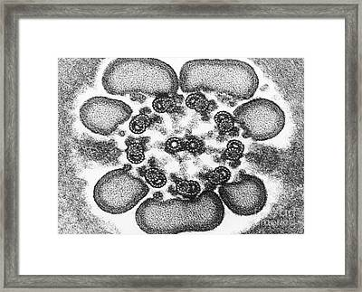 Sperm Tail, Tem Framed Print by David M. Phillips