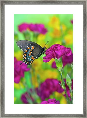 Spicebush Swallowtail, Papilio Troilus Framed Print