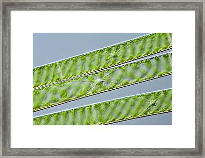 Spirogyra Green Alga Framed Print