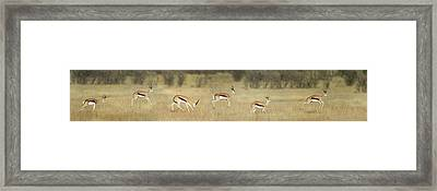 Springbok Antidorcas Marsupialis Framed Print by Panoramic Images
