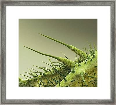 Stinging Nettle Leaf Framed Print