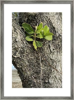 Strangler Fig Ficus Aurea Framed Print by Bob Gibbons