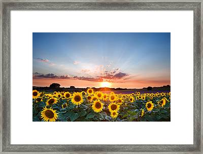 Sunflower Summer Sunset Landscape With Blue Skies Framed Print
