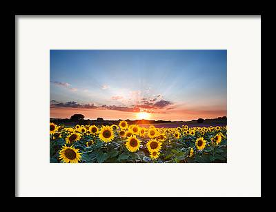 Sunflowers Framed Prints