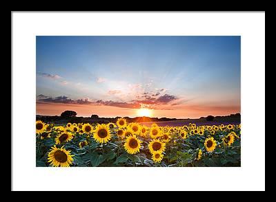 Sunflower Seeds Photographs Framed Prints