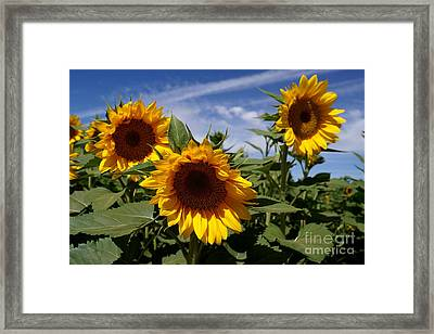 3 Sunflowers Framed Print by Kerri Mortenson