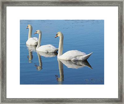 3 Swans A-swimming Framed Print