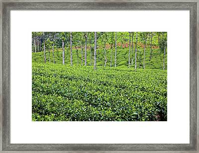 Tea Plants (camellia Sinensis Framed Print