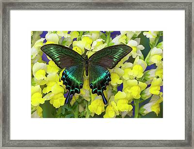 The Common Peacock Swallowtail Framed Print by Darrell Gulin