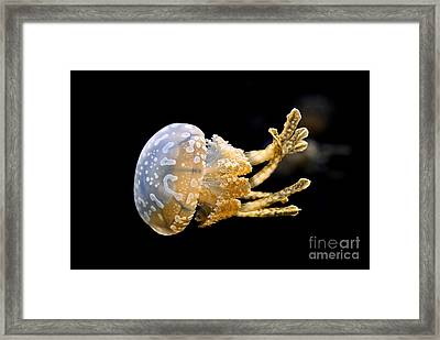 The Spotted Jelly Or Lagoon Jelly Mastigias Papua Framed Print by Jamie Pham