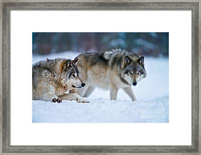 Timber Wolf Picture Framed Print by Michael Cummings