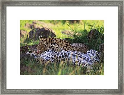 Two Leopards Framed Print