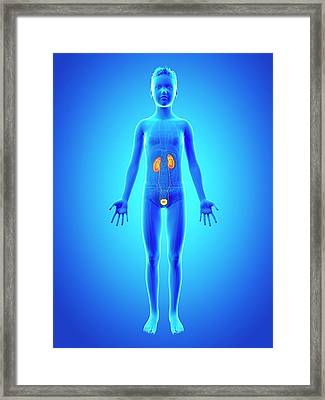 Urinary System Of A Boy Framed Print by Sebastian Kaulitzki