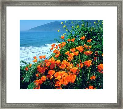 Usa, California, California Poppies Framed Print by Jaynes Gallery