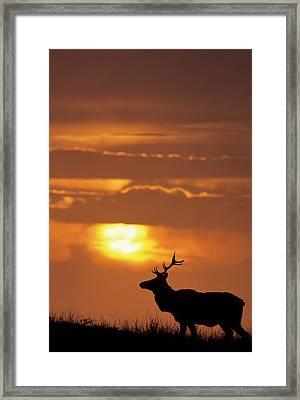 Usa, California, Sunset, Tule Elk Framed Print