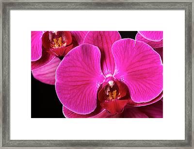 Usa, Oregon, Keizer, Hybrid Orchid Framed Print by Rick A Brown