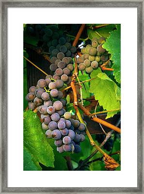 Usa, Oregon, Keizer, Pinot Gris Grapes Framed Print by Rick A Brown