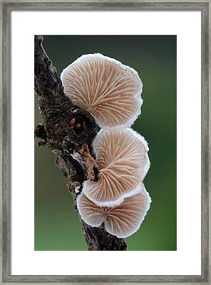 Variable Oysterling Fungus Framed Print by Nigel Downer