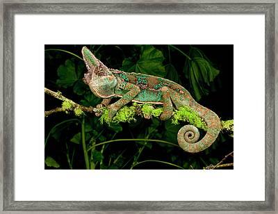 Veiled Chameleon, Chamaeleo Framed Print by David Northcott