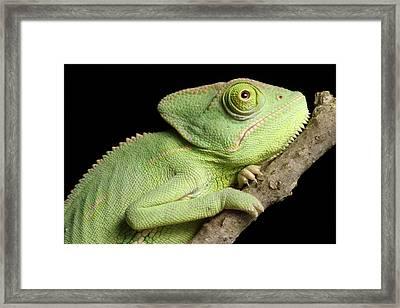 Veiled Chameleon Portrait Framed Print