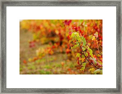 Vineyard In Autumn, Gaillac, Tarn Framed Print by Panoramic Images