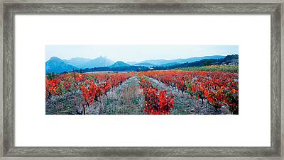 Vineyards In The Late Afternoon Autumn Framed Print