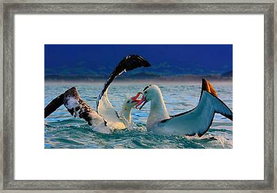 Wandering Albatross Framed Print by Amanda Stadther