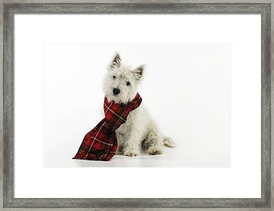 West Highland White Terrier Puppy Framed Print by John Daniels