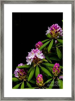 West Virginia State Flower Framed Print