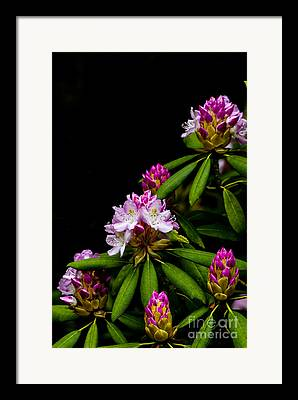 Rhododendron Maximum Framed Prints